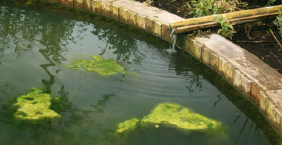 Blanket weed in garden fish ponds is a problem keeping for Ornamental fish pond maintenance